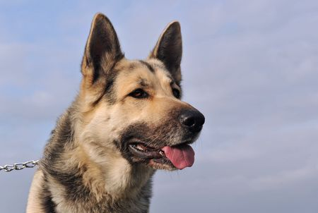 portrait of a purebred german shepherd on a blue sky Stock Photo - 6389678