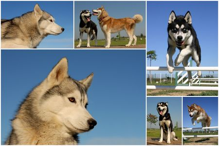 composite picture with purebred dogs siberian huskies photo