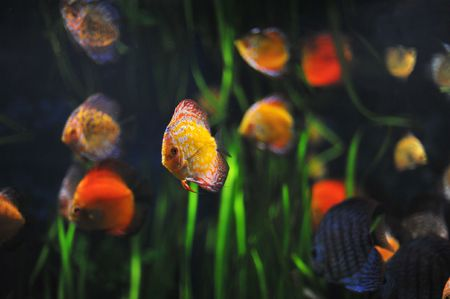 colorful tropical Symphysodon discus fishes in an aquarium Stock Photo - 6422249