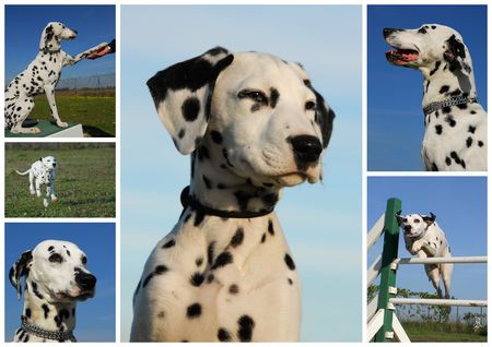 spoted: composite picture with purebred dogs and puppies dalmatians