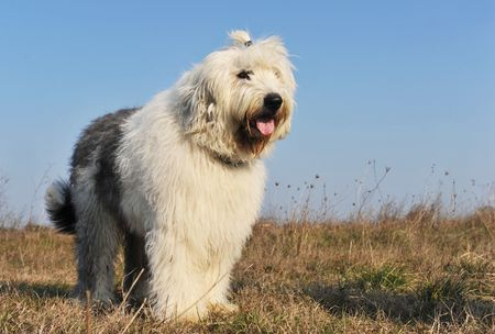 upright: purebred Old English Sheepdog upright in a field