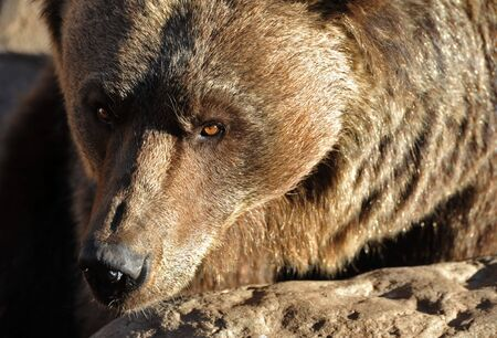 close up on the eyes of Grizzly Bear photo
