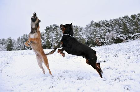 rotweiler: two dogs, a rotweiler and a belgian shepherd malinois playing in the snow