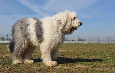 sheepdog: purebred Old English Sheepdog upright in a garden