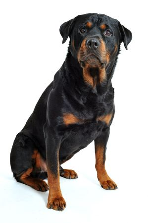 rottweiler: portrait of a purebred rottweiler on a white background Stock Photo