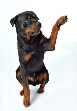 rottweiler: cute purebred rottweiler say hello with his paw