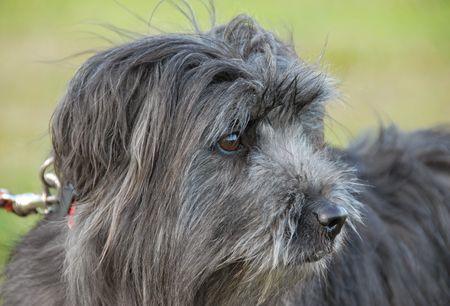 pyrenean: Ritratto di un cane pastore dei Pirenei in un giardino
