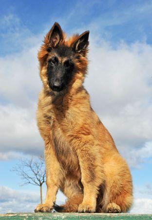 portrait of a purebred belgian shepherd tervueren sitting on a blue sky