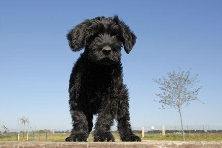 puppy purebred cao de agua or portuguese water dog upright on a table