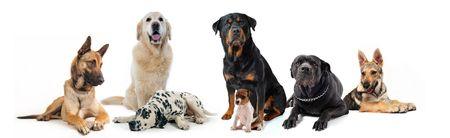 dalmatier: honden en puppies zitten en liggen op een witte achtergrond  Stockfoto