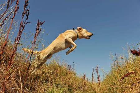 jumping purebred labrador retriever in a field in blue sky