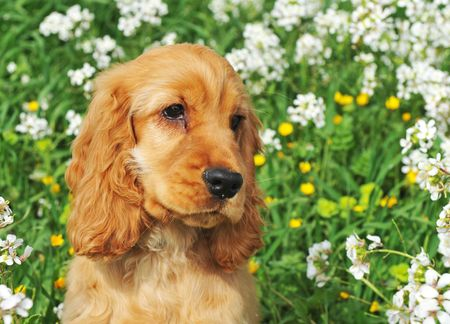 portrait of a puppy cocker spaniel in a field with flowers photo