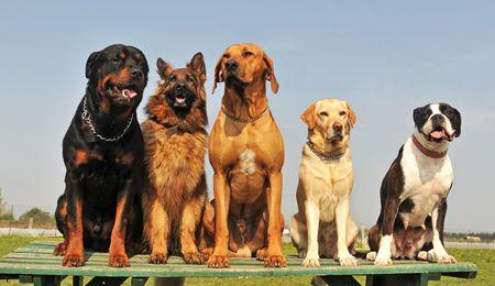 obedience: cinco perro grande de pura raza sentado en un día de la primavera