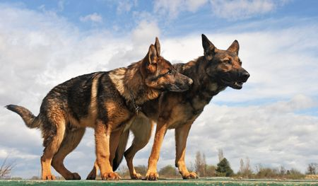 two purebred gray german shepherds upright: a female and a  five month puppy