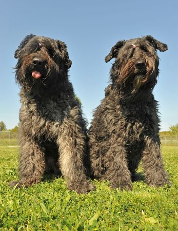 des: two dogs bouvier des Flandres sitting in a field