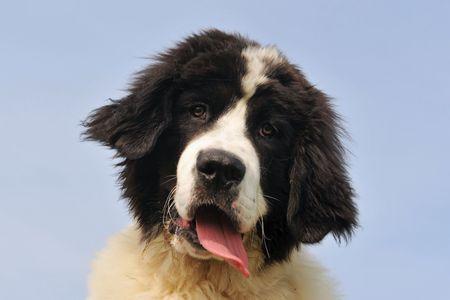 black and white newfoundland dog: portrait of a purebred newfoundland dog landseer in a blue sky