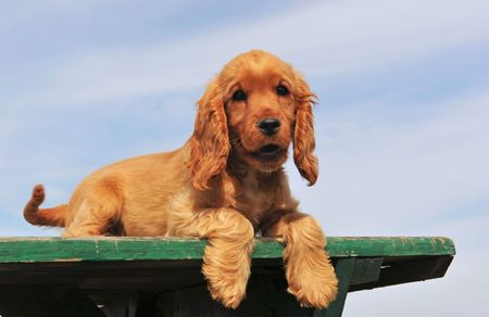 cocker: portrait of a purebred cocker spaniel laid down on a blue sky