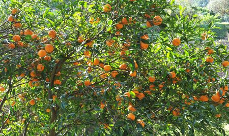 orange fruit on the tree in Spain, in a day of spring photo