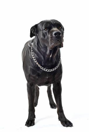 cane corso: portrait of a purebred  black italian mastiff or cane corso in studio Stock Photo