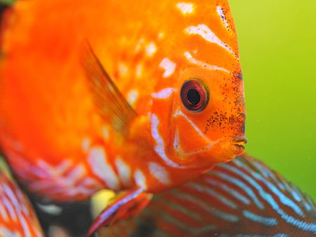 portrait of a red  tropical Symphysodon discus fish in an aquarium  Stock Photo - 6974838