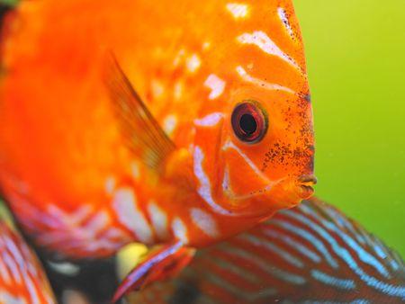portrait of a red  tropical Symphysodon discus fish in an aquarium Stock Photo - 6974838