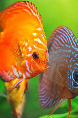 portrait of a red  tropical Symphysodon discus fish in an aquarium photo