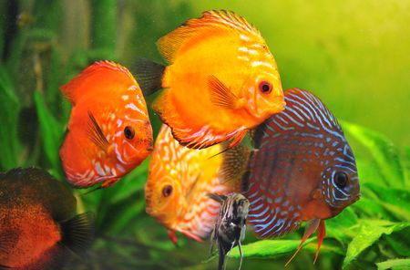 discus: group of a colorfull  tropical Symphysodon discus fishes in an aquarium