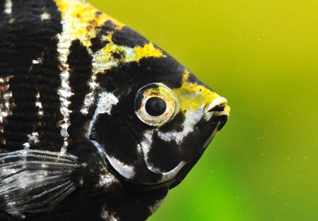 close up of a pterophyllum scalare in a tank photo
