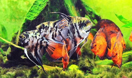 pterophyllum scalare with a group of symphysodon discus in a tank photo