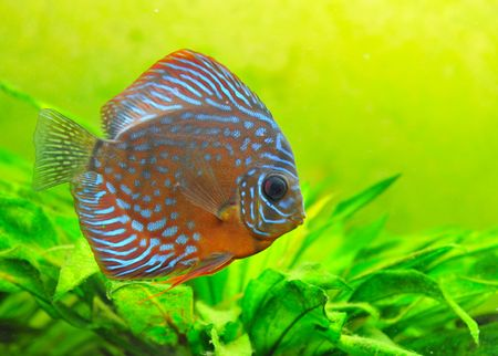 portrait of a blue  tropical Symphysodon discus fish in an aquarium photo