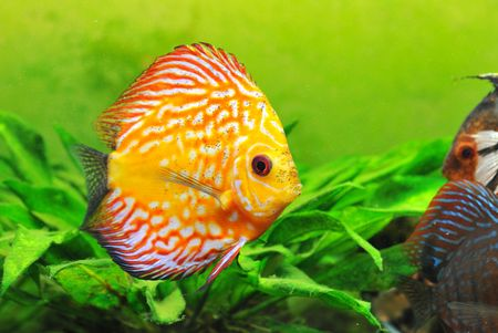 portrait of a red  and yellow tropical Symphysodon discus fish in an aquarium Stock Photo - 6974840