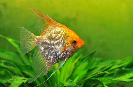 close up of a pterophyllum scalare in a tank Stock Photo - 6974870