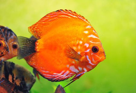 portrait of a red  tropical Symphysodon discus fish in an aquarium Stock Photo - 6974869