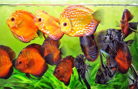 pterophyllum scalare and symphysodon discus in a tank with aquatic plants photo