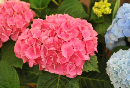 blossom of pink  Hydrangea (Hortensia) in a garden Stock Photo - 6974911