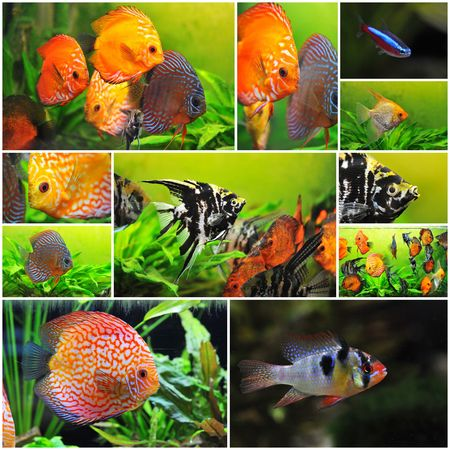 neon tetra: pterophyllum scalare  symphysodon discus and apistogramma in a tank  Stock Photo