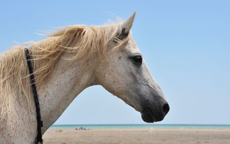 portrait of an arabian horse on the beach photo