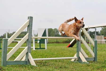 perro de ganado australiana en una competencia de agilidad