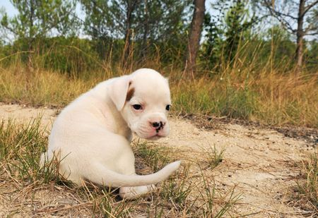 portrait of a puppy white bower in the nature photo
