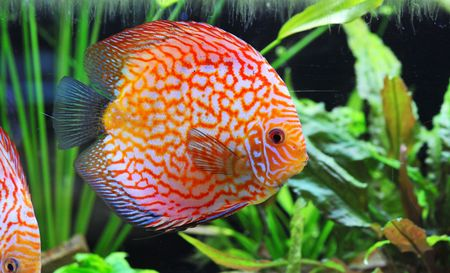 portrait of a red  tropical Symphysodon discus fish in an aquarium Stock Photo - 7026031