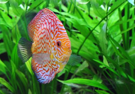 portrait of a red  tropical Symphysodon discus fish in an aquarium photo