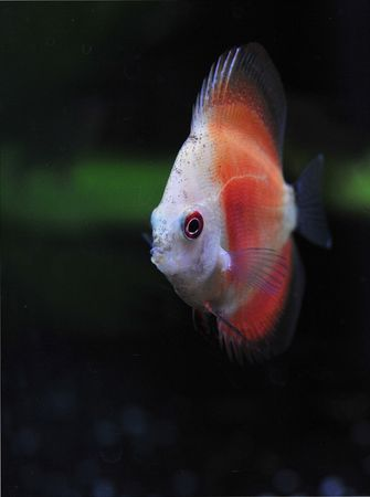portrait of a red and white young  tropical Symphysodon discus fish in an aquarium Stock Photo - 7026015