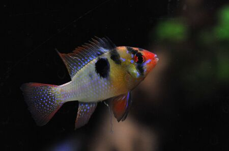 apistogramma: apistogramma ramirezi or Mikrogeophagus ramirezi (the ram cichlid) male Stock Photo