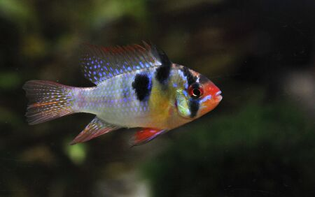 apistogramma ramirezi or Mikrogeophagus ramirezi (the ram cichlid) male Stock Photo - 7026017