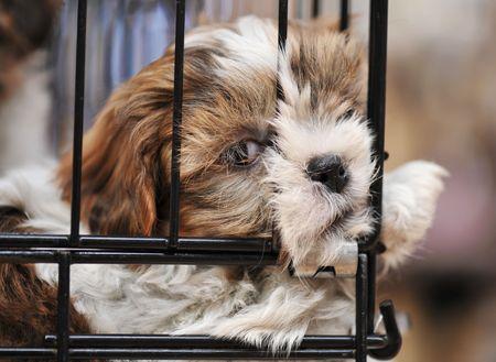 shihtzu: very young puppy purebred shihtzu in cage