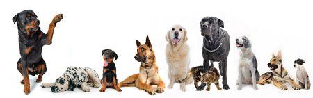 obedience: rottweiler bonito decir hola con su pata a un grupo de perros y gatos