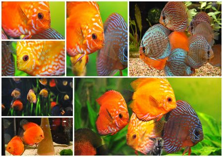group of a colorfull  tropical Symphysodon discus fishes in an aquarium photo