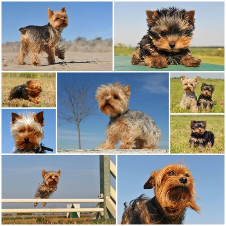 portrait of a purebred yorkshire terrier outdoors photo