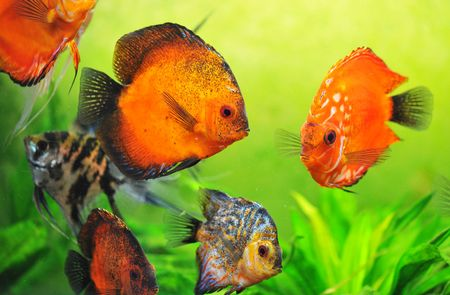 symphysodon: beautiful red symphysodon discus in a aquarium