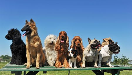 dog sitting: group of puppies purebred dogs on a table Stock Photo